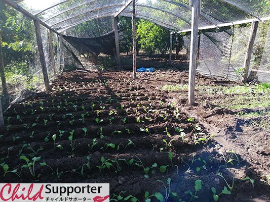 Vegetable producción in Semi Shade de la Sra.  Simeona Herrera.jpg